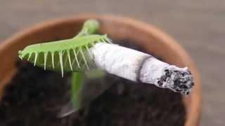 Download Carnivorous Plant Smoking a CIGARETTE (捕蠅草) Video