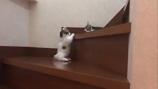 Download 短足の分、下りに苦労する子猫がかわいい Video