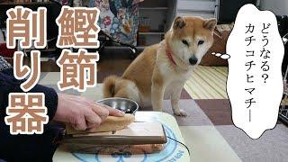 Download 柴犬小春 【ASMR】鰹節削りで硬い犬用チーズ棒(ヒマチ―)を削ってみたら・・・。Shaving dog's Cheese Stick Video