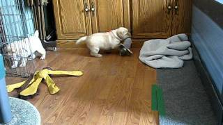 Download 1 month old labrador puppies! Video