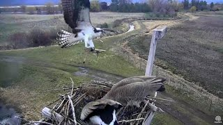 Download Osprey attacks Canada Geese with stick. Charlo Osprey nest . 14 April 2017 Video