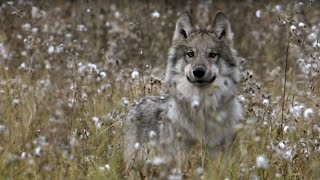 Download Wolves' Strategic Buffalo Hunting | BBC Earth Video