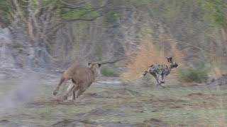 Download Wild Dogs vs. Lions, Moremi Video