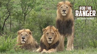 Download Majestic Lions Watching A Buffalo Herd Video