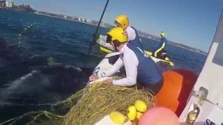 Download Mother Humpback Stays by Calf While Rescuers Free it From Shark Net Video