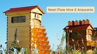 Download Introducing Flow Hive 2 in Araucaria! Video