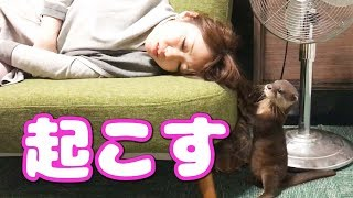 Download 寝ているお姉さんをどうしても起こしたいカワウソ【しゃもじ】 The woman who is woken up to an otter Video