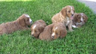 Download Cavapoo Puppies for Sale from dyerfarms Video