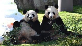 Download 【おめでとう🎊】桜浜&桃浜🐼3歳のバースデーパーティー💕【ふたごパンダ】Giant Panda -Ouhin&Touhin-☆Happy 3rd Birthday Party♪ Video