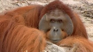 Download Hercules the Orangutan - Orangutan Diary - BBC Video