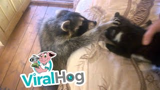Download Raccoon Tries to Make Friends With Cat || ViralHog Video