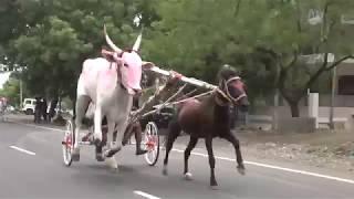Download Horse and Bull Race.سباق الخيل والثور.genus equus bos.paard en stier race. 马和公牛比赛. Video