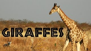 Download Giraffes for Kids: Learn about Giraffes - FreeSchool Video