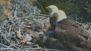 Download Earthquake California 5.3 Caught Live On Bald Eagle Nest Cam Sauces Channel Islands 4.5.18 Video