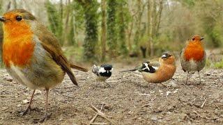 Download Videos y Película Para Gatos - Canto de Aves Video