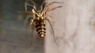 Download frelon contre 2 araignée Video