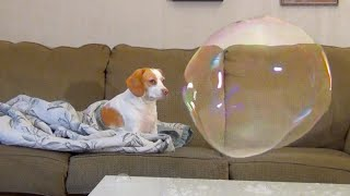 Download Dog Not Scared of Bubble: Penny Snores & Does Funny Things Video