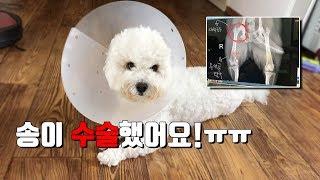Download 슬개골 탈구 수술 후의 기록 | 비숑프리제, bichonfrise | 버섯나라송이왕자 Video