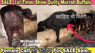 LADDO - Beautiful Murrah Female Calf From LDF(Lakshmi Dairy