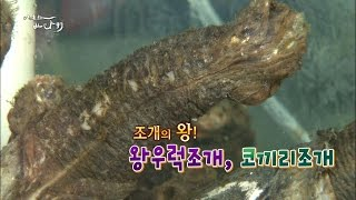 Download [어영차 바다야]조개의 왕! 왕우럭조개와 코끼리조개! Video