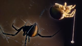 Download Red Back Spider | Attenborough: Life in the Undergrowth | BBC Earth Video