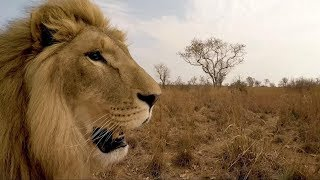 Download Aren't George and Yame grown up! | The Lion Whisperer Video