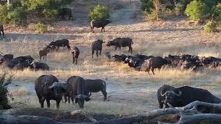 Download Djuma: Buffalo herd comes to pan-Pt:2 - 16:37 - 07/22/19 Video