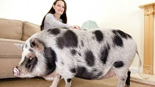 Download The Truth About Micro Pigs: Full Grown Micro Pigs Video