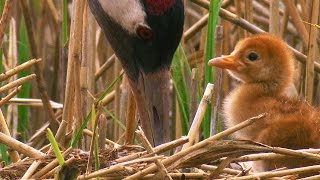 Download Sweet Baby Crane / The Life of Birds / Crane Chick / Nature Documentary Video
