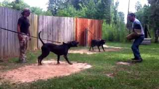 Download Midgard Mastiffs -training day for Isis, Tyr and Echidna. Video