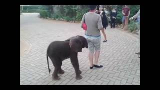 Download Elephant Calf in Distress after being Abandoned by it's Family – Salt Lick Lodge, Kenya Video