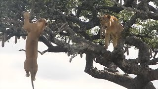 Download What Will Happen if The Lion King Climbs The Tree? Video
