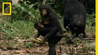 Download Bonobo: the Female Alpha | National Geographic Video