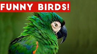 Download Funny Bird Videos Weekly Compilation 2017 | Funny Pet Videos Video