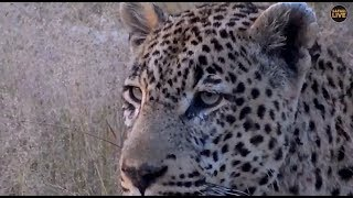Download Safari Live : Tingana Male Leopard on drive this morning with Steve May 05, 2018 Video