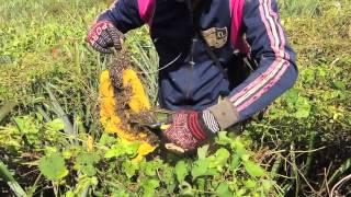 Download Honey Hunters of Cambodia (Apis florea) Video