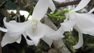 Download Những loài hoa lan rừng có giá đắt đỏ hiện nay đang được nhiều người săn lùng Video