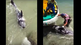 Download Terrified Dolphin Throws Himself At Ric O'Barry's Feet To Escape Hunters Video