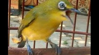 Download Pleci Dakun Merapi Full Kenarian Video