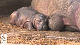 Download Hippo Baby Born On Halloween at the L.A. Zoo Video