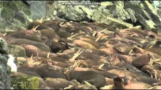 Download Round Island, AK 5.30.15 Birds Fly Over Walrus Video