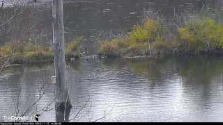 Download Canada Geese Swim in Formation – Nov. 15, 2016 Video