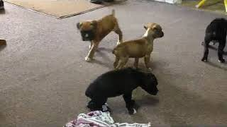 Download Boxer Puppies For Sale Ben Eby Video