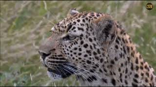 Download Safari Live Xidulu Female Leopard on drive this afternoon evening with Ralph April 19, 201 Video
