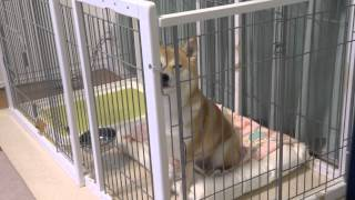 Download 話し続ける柴犬 Shiba Inu which I continue talking about Video