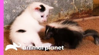 Download Black And White Kittens Welcome An Oddball Orphan To Their Family | Too Cute! Video