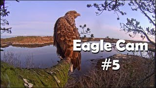 Download Eagle Cam #5 - Baron Blue - White Tailed Eagles Nest Live Video