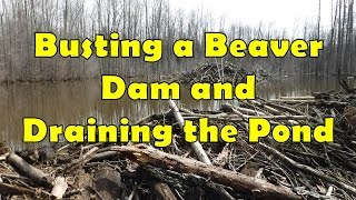 Download Busting a Beaver Dam and Draining the Pond Video