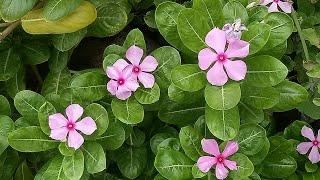 Download विज्ञान भी हैरान है इस पौधे से Video