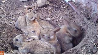 Download Young life - Baby rabbits and their mom (Bushnell Nature View) Video